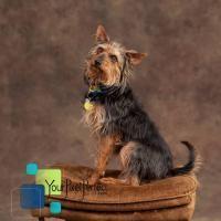 Rambo - Yorkshire Terrier Yorkie pet adoption in Scranton PA #dogadoption