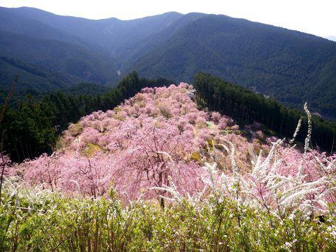 奈良県東吉野郡東吉野村にある「天空の庭 高見の郷」は1000本ものしだれ桜が咲き誇る桜の名所です。悠久の山々に囲まれた標高700メートルの「千年の丘」から望む、山肌一面を埋め尽くすしだれ桜はまさに絶景!まるで空に浮かんでいるかのような桜の庭は「天空の庭」と呼ばれるに相応しい景色です。2016年からは夜桜のライトアップがスタート!ますます盛り上がりを見せる高見の郷から目が離せません!