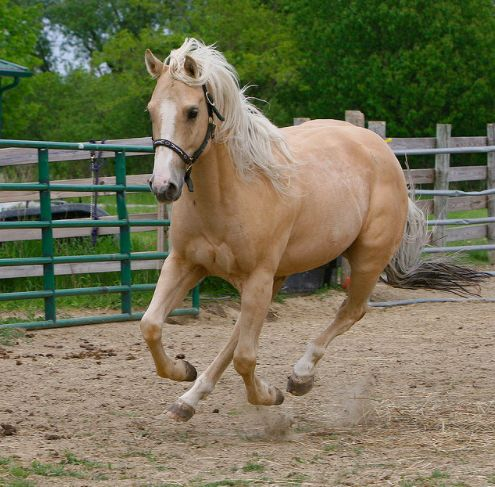 Palomino Quarter Horse...Just like my Dexter!                                                                                                                                                                                 More