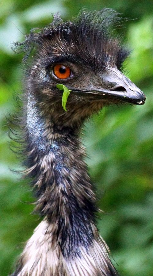 """Emu: """"Common on arid plains and woodlands throughout the mainland, the emu has long powerful legs and can sprint at 50km/h."""" www.bradtguides.com"""