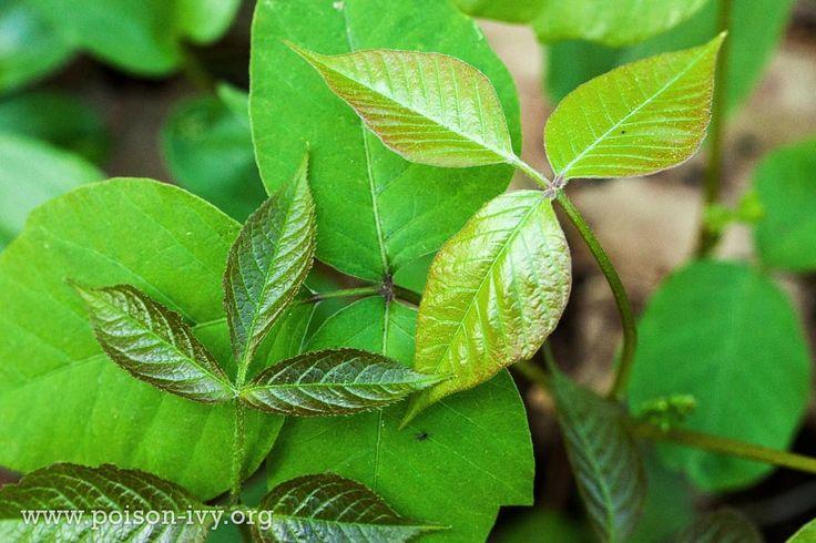 poison ivy quiz