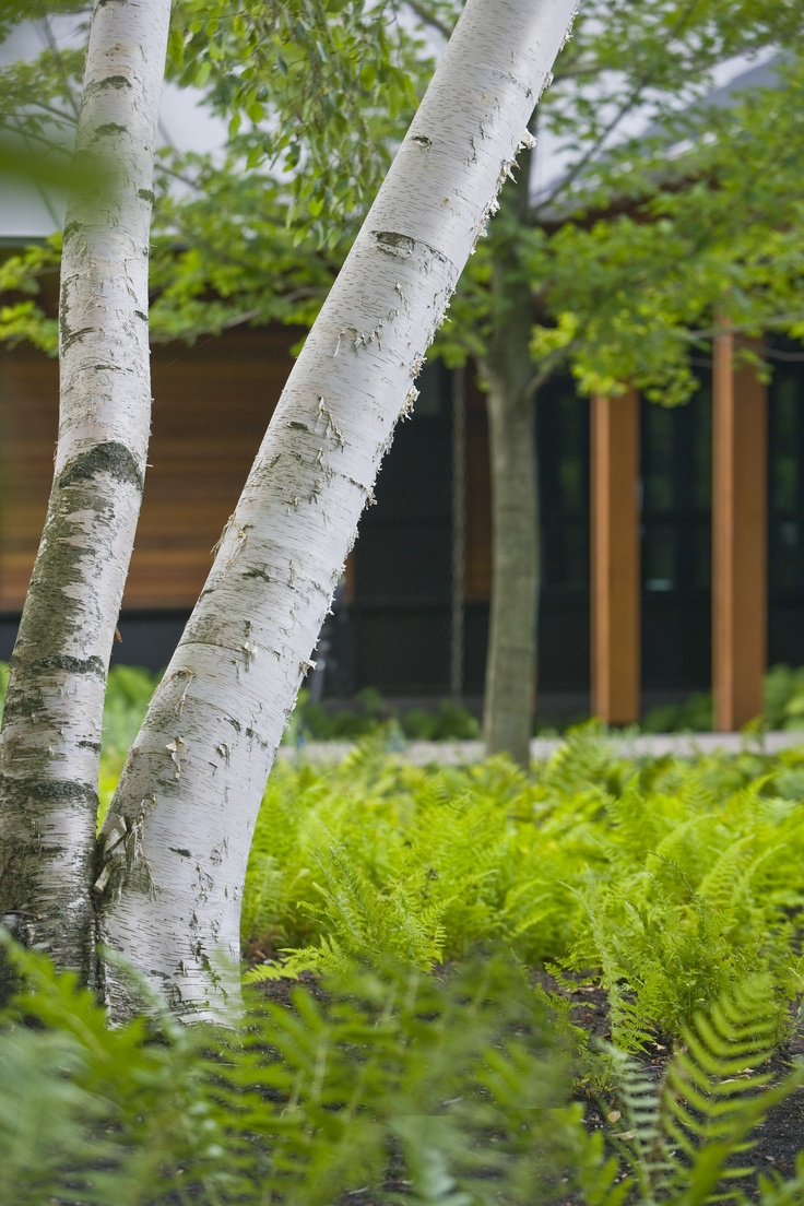 Betula papyrifera | Smith Point Residence | Landscape Architect: H. Keith Wagner Partnership | Image Credit: Westphalen Photography