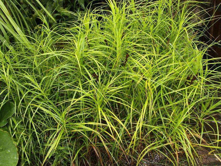 Carex muskingumensis Palmwedel Segge