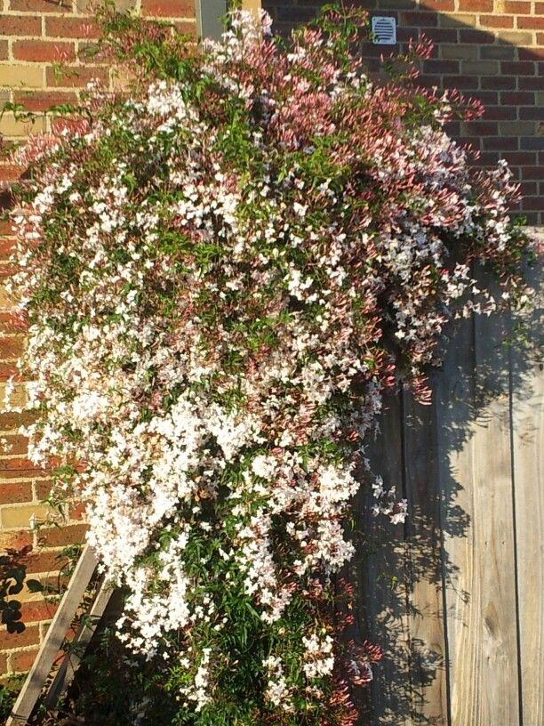 Jasmine smells magnificent must get some for my garden