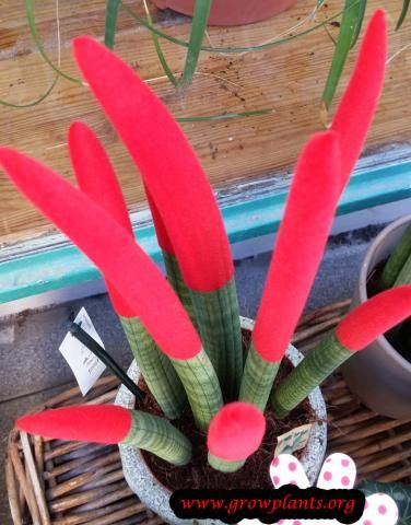Sansevieria cylindrica red http://www.growplants.org/growing/sansevieria-cylindrica