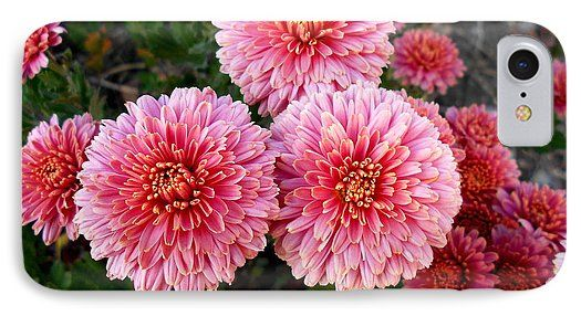 Lovely IPhone 7 Case featuring the photograph Lovely Pink Chrysanthemums by Erika H