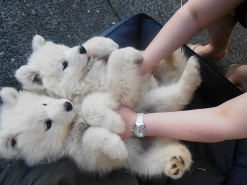 Miniature American Eskimos. They are like stuffed animals! AHH!!