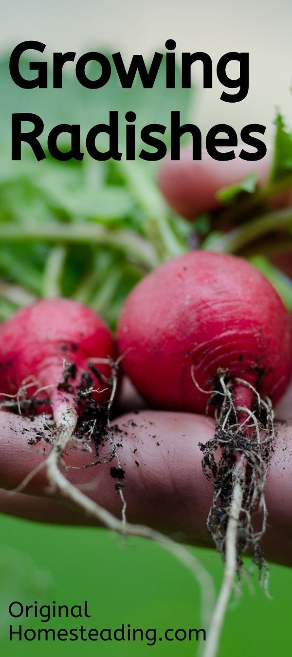 How To Grow Radishes Organic Gardening Growing Vegetables