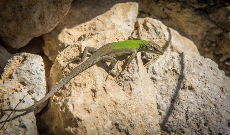 Hagedis / Lizard (Sicilië / Sicily)