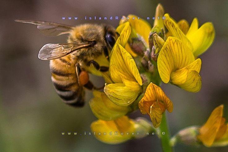 HoneyBees in Queensland