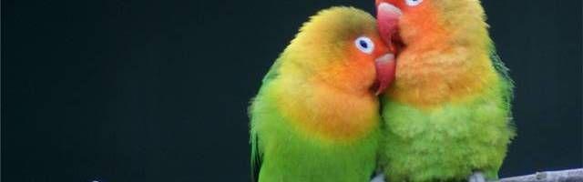Rahasia Sukses Ternak Lovebird Untuk Pemula