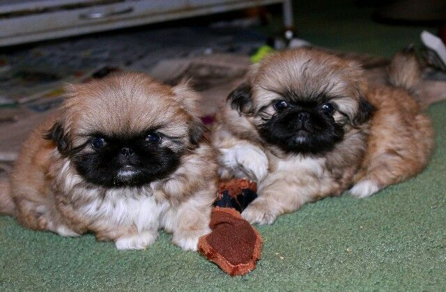 Pin by Marelise on My Pets♡♡♡ (With images) Pekingese