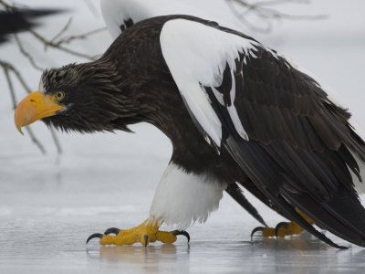 ✔ Steller's Sea Eagle: I think these are the largest eagles in the world.