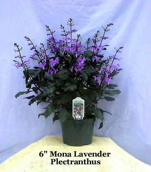 Plectranthus Mona Lavender A Purple Tinted Bush The