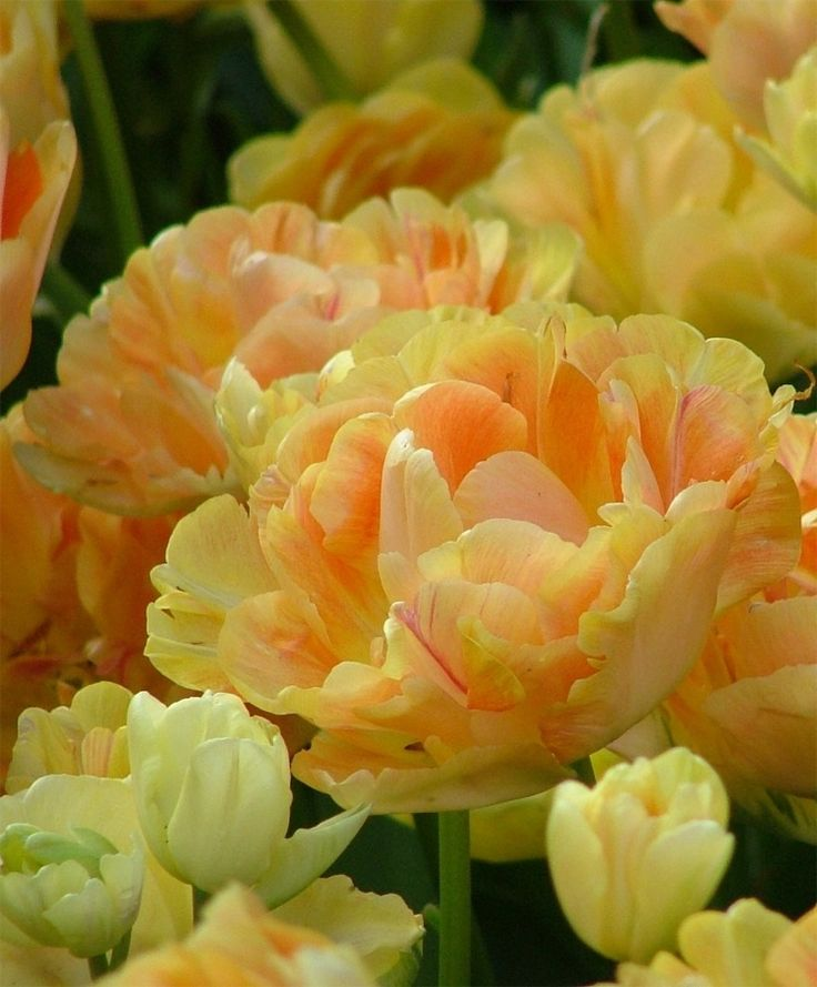 Peony Flowering Tulip Charming Beauty--This enchanting Angelique love child is varying shades of apricot-tangerine with blush-apricot exterior petals, ever darkening into its dusky apricot-orange center. Charming Beauty is a stellar cut flower.