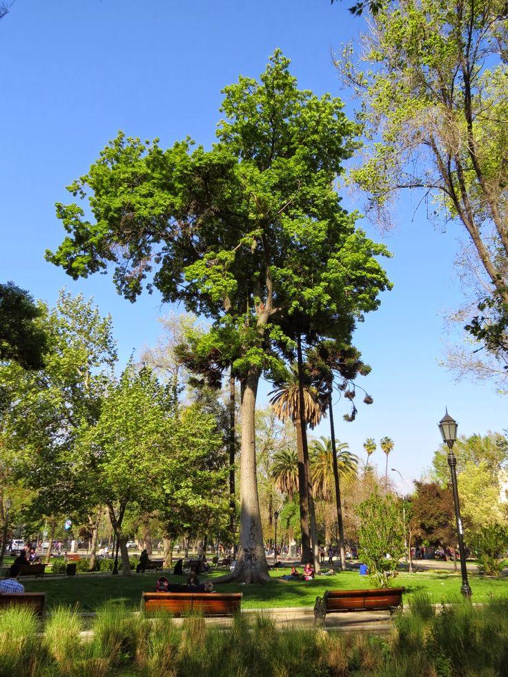 Chorisia speciosa en Parque Forestal de Santiago.  Http://arboriculturaurbana.blogspot.com