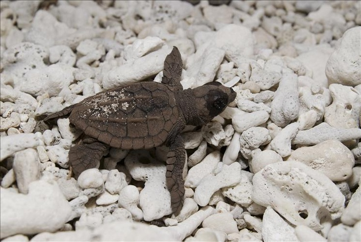Watch Loggerhead turtle hatchings at Mon Repos #bundaberg. Aren't they cute little fellas?