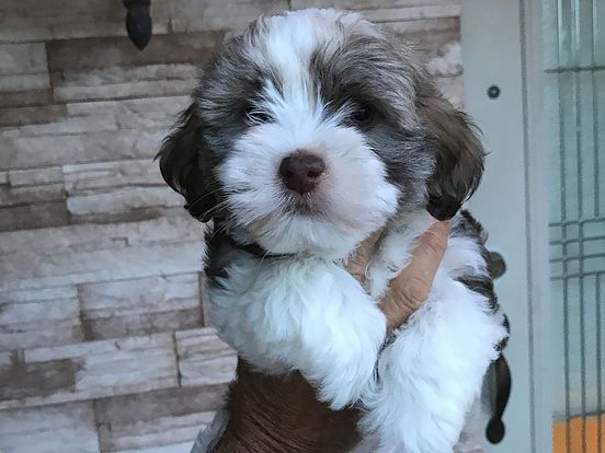 HAVANESE PUPPIES FOR SALE | NURSERY