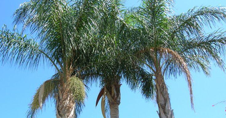 Como cuidar de uma palmeira jerivá. O jerivá, também conhecido como Syagrus romanzoffiana, é uma palmeira nativa da América do Sul. Ao contrário de muitas plantas da América do Sul, no entanto, o jerivá é uma planta de climas secos, preferindo solos ácidos e sol pleno. A árvore pode chegar a 15 metros de altura e produz folhas verde-escuras durante todo o ano, e flores brancas no ...