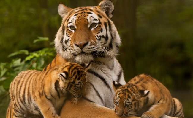 5 Incredible Facts About Tigers For National Save A Tiger Month Tiger Facts Tiger Facts For Kids Tiger Images