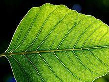 La feuille est l'organe spécialisé dans la photosynthèse chez les spermatophytes. C'est la photosynthèse qui maintient constant le taux d'oxygène dans l'atmosphère terrestre et fournit toute la matière organique ainsi que l'essentiel de l'énergie utilisées par la vie sur Terre2.
