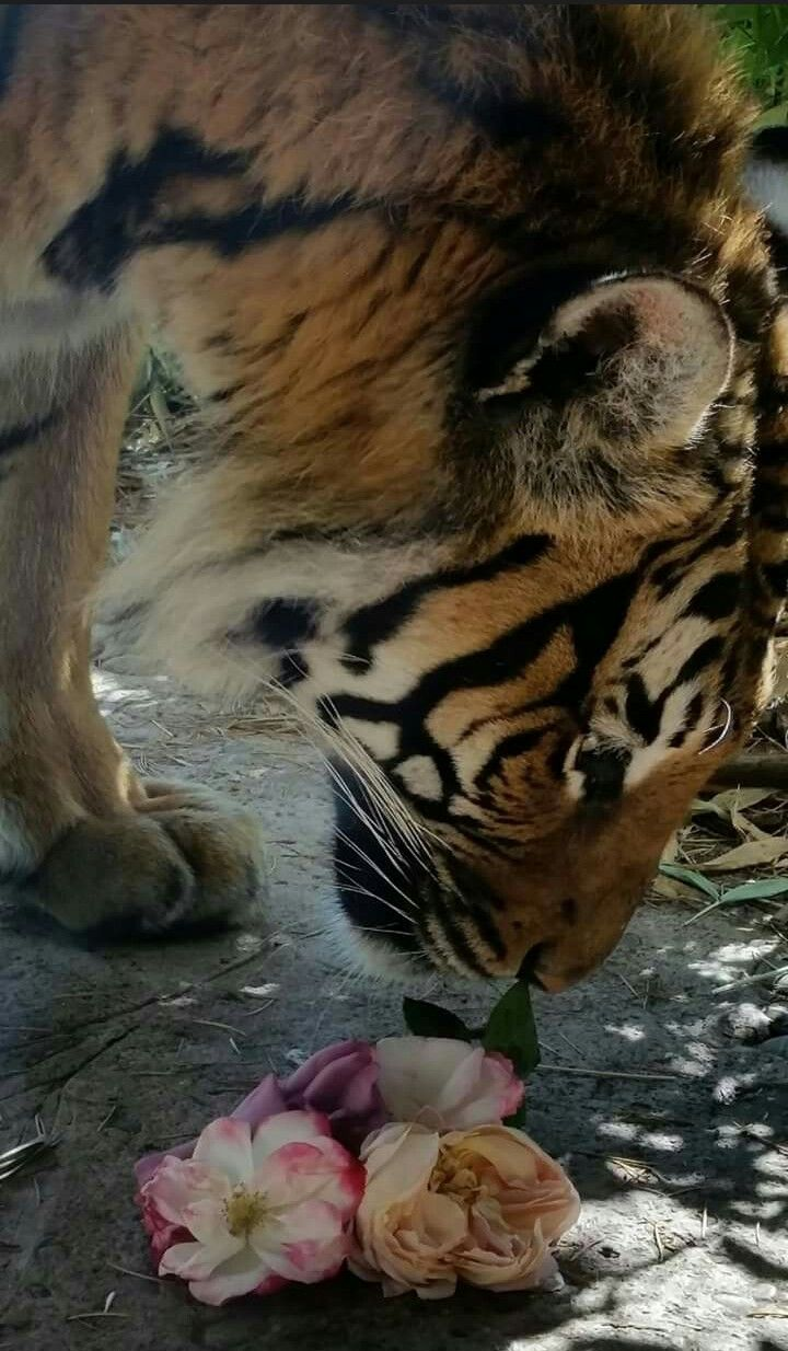 Tiger from Woodland Park Zoo in Seattle appreciating the fragrant beauty of these roses, tossed in by a zoo keeper. Even animals love to stop and smell the roses.