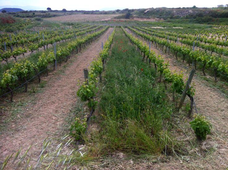 Cubierta vegetal en uno de los viñedos de la bodega. #Wine #Rioja #OrganicWine