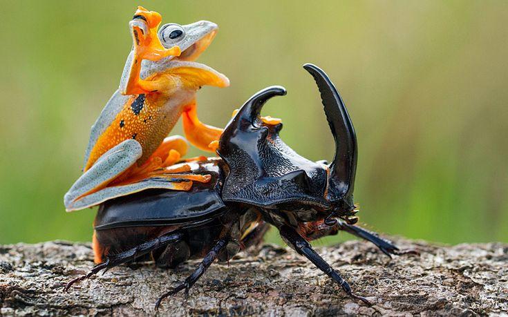 Une grenouille fait du rodéo sur un scarabée