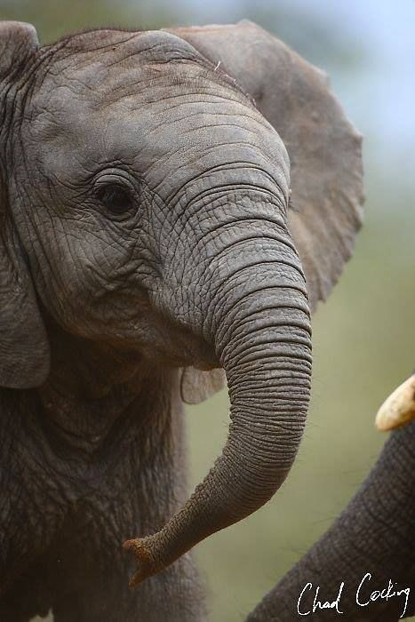 beautiful elephant baby by Chad Cocking