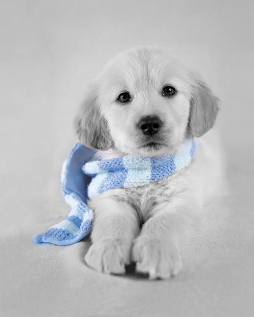 black and white photo of Lil golden retriever with blue scarf