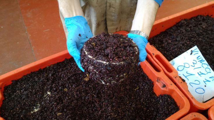 Cacio di Bacco a fine stagionatura sotto #vinaccia  #pecorino #pecorinotoscano #formaggio #canticheese