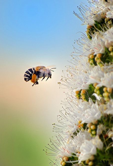 """Bee in full flight with full loads of pollen on its legs: Photo by José Miguel Rodríguez****you can easily attract pollinators into your own garden with our """"Bumblez"""" BloomPucks #bees #nature #flowers"""