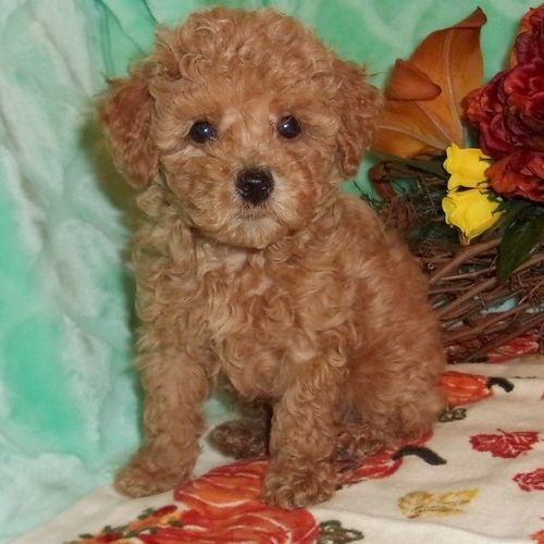Sadie German Sheprador Puppy For Sale In Maryland Cavapoo