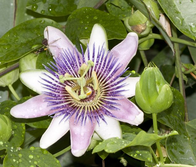Passiflora incarnata, Maypop or purple passionflower at FLAAR office, Guatemala City. Photo by Jaime Leonardo.