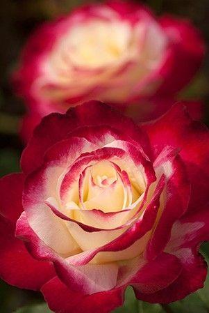 Rosea Double Delight