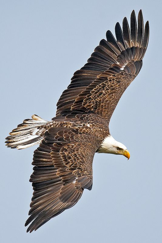 The American Bald Eagle(Haliaeetus leucocephalus) is both the national bird and animal of the United States of America. The bald eagle appears on its seal. In the late 20th century it was on the brink of extinction in the U.S. Populations have since recovered and the species was removed from the U.S. government's List of Endangered and Threatened Wildlife in the Lower 48 States on June 28, 2007.