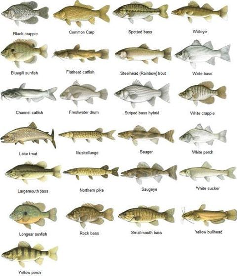 different types of freshwater fish fishing fanatics