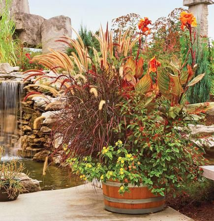 Barrel of foliage - A sturdy half wine barrel anchors deep purple plumes of fountain grass and bright orange Tropicanna cannas blooms. Tiny flowers from firebush (Hamelia patens), lantanas and zinnias bloom in the foreground.