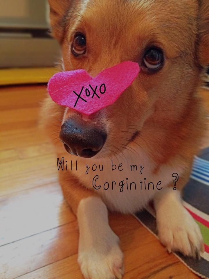 Will you be my Corgintine?  YES!