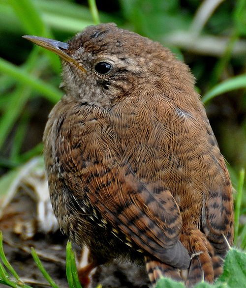 Wren, was Mick Jagger's long time, but now no longer alive, girlfriend named after this little bird?