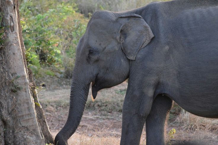 Lonely male elephant in Uda Walawe National Park