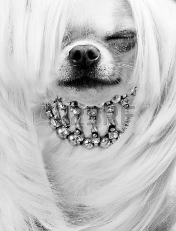 Портрет смешные чихуахуа собаки Фото со стока Chihuahua