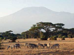 Zebras und den Kilimandscharo bekommst du in Kenia zu sehen. #Zebra #Kilimanjaro #Kenia #erlebeFernreisen