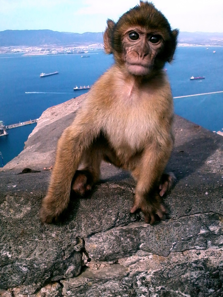 Barbary Ape - when I visited one of these jumped onto my shoulders