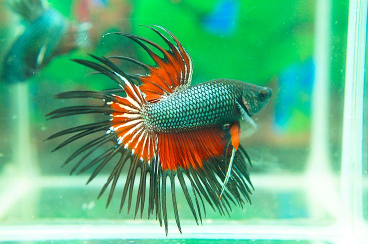 Black devil crowntail betta fish siamese fighting fish for Crowntail betta fish