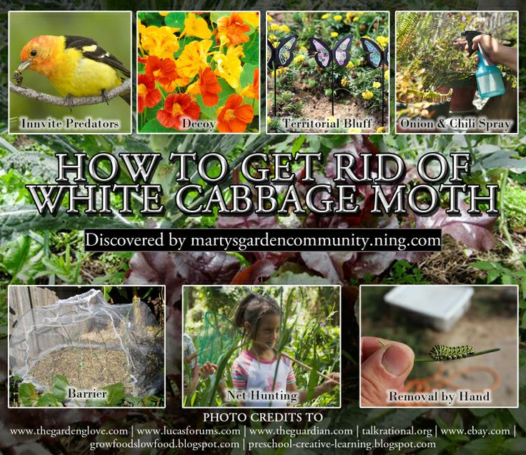 How to Get Rid Of White Cabbage Moth - Blog - Martys Garden Community