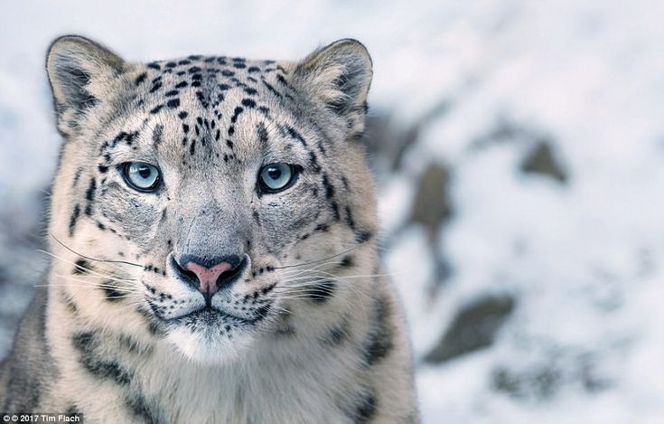 Snow leopards are sparsely distributed across 12 countries in central Asia, from southern ...