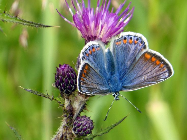 Spot a female common blue butterfly walking around Loch Glashan above Loch Fyne.