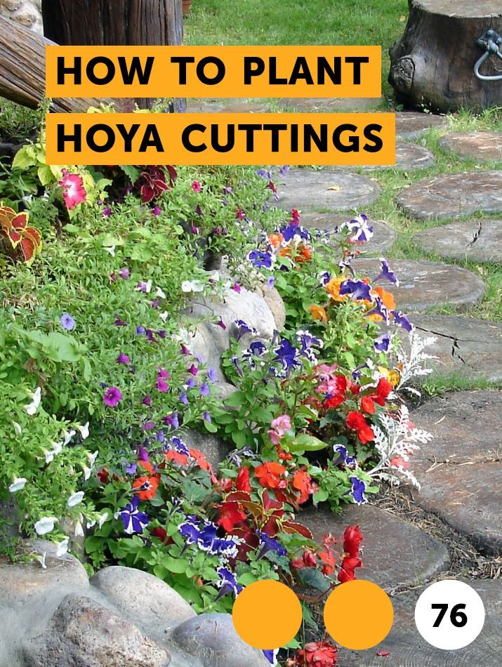 How To Plant Hoya Cuttings Indoor Growing Box Wood Shrub Garden