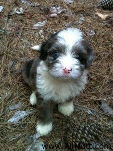 Australian Shepherd Miniature Poodle Mix